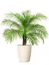 A Dwarf Date Palm is a very slow growing palm that reaches a maximum height of about 4-5 ft. indoors (1-2 meters). It produces arching, graceful fronds about 3ft. or .9 meters in length with delicate leaflets on them. A Non- poisonous houseplant, but cats do love to play with those long graceful fronds.