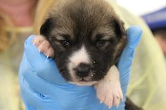 Puppies flown into Peterborough ready to find their forever homes. By kawarthaNOW. Adoptions begin October 31 in Peterborough and November 2 in Kawartha Lakes.