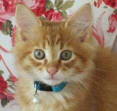Our new Maine Coon kitten Loekie, eight weeks old.