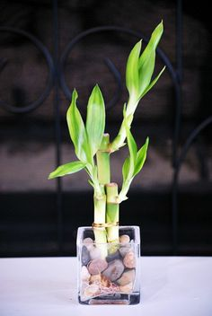 Roundup: 8 Houseplants Even College Students Can Keep Alive – Kasey Jordan Roundup: 8 Houseplants Even College Students Can Keep Alive Lucky Bamboo Plant. Bamboo purifies the air in your home. Pretty AND good for you! Bamboo In Pots, Lucky Bamboo Plants, Indoor Garden, Indoor Plants, Plantas Indoor, Room With Plants, Plant Decor, Houseplants, Feng Shui