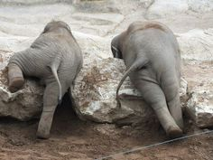 Baby elephant butts so cute