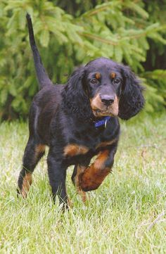 gordon setters | Nodrog Gordon Setter Club of Michigan