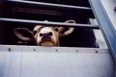 Tierschutz Rinder: Fakten