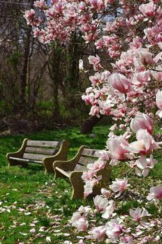 Wooden benches under flowering trees.