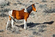 Nevada's mustang. Photo by Mark Terrell.