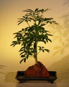 Hawaiian Umbrella Bonsai Tree - Small - In Lava Rock