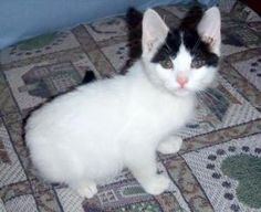 Purrfect Pixie is an adoptable Turkish Van Cat in Hamilton, ON. PLEASE SEND AN E-MAIL TO REQUEST AN ADOPTION APPLICATION AND ASK ANY QUESTIONS BEFORE MAKING CONTACT BY PHONE - WHILE WE DO WISH TO ANSW...