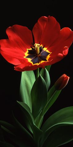 Giclee Prints to or Panoramic Note Card - Tulip in Winter - Photo by Robert Griffen - Archival Materials - Giclee' Print - - Most Beautiful Flowers, Exotic Flowers, Red Flowers, Pretty Flowers, Flowers Garden, Yellow Roses, Pink Roses, Art Floral, Cactus Flower