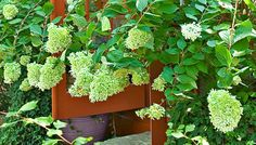 Choose the Right Trees, Shrubs and Vines for Your Landscape Lawn And Garden, Garden Paths, Home And Garden, Lowes Creative, Creative Ideas, Landscaping Ideas, Garden Landscaping, Front Porch Flowers, Limelight Hydrangea