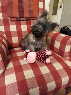Cairn Terrier Baby Dogs, Doggies, Dogs And Puppies, Huge Dogs, I Love Dogs, Carin Terrier Puppies, Sweet Dogs, Me And My Dog, Norwich Terrier