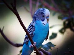 Meet Johnny (and other budgies!), an adopted Parakeet (Other) Parakeet, from Empty Cages Collective in Brooklyn, NY on Petfinder. Learn more about Johnny (and other budgies! Cute Birds, Pretty Birds, Vogel Gif, Parrot Wallpaper, Tropical Wallpaper, Wallpaper Wallpapers, Wallpaper Downloads, Blue Parakeet, Blue Budgie