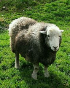 Herdwicks are my all time favourite
