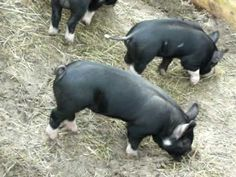 Natural Worming for Pigs:  diatamaceous earth, garlic and…