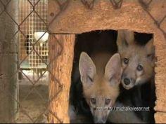 Kožušinová farma. (Križanovice/Čechy, 2007) Fox, Animals, Animais, Animales, Animaux, Animal Books, Foxes, Animal