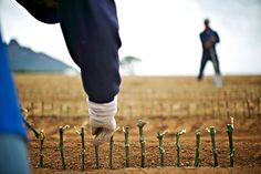 Planting vines