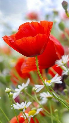 Poppies and Daisies ❤️💛