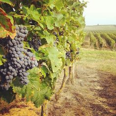 Welcome #autumn par @bleu_vins #Anjou #loirevalley #vignes #raisins #automne #vines #vineyards #grape #harvest #vendanges #bleuvins #winetours