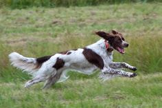 french spaniel | Breed of the Week: The French Spaniel