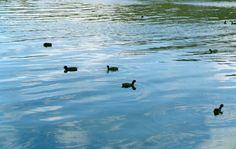 Patos en la laguna La Brava, camino a Balcarce, Buenos Aires, Argentina