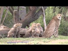 VID: Sensational Six Cheetah Cubs at San Diego Zoo - ZooBorns