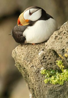 Puffin - #etologiarelazionale - The ethology of emotions and empathy