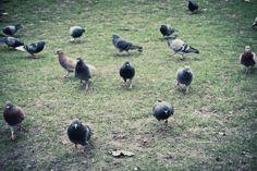 L'armée des pigeons