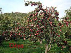 Το μήλο όσο κόβεται,τόσο μοσχομυρίζει.Τη μηλιά π έχει μήλο βαράνε.Το μήλο κάτω απ'τη μηλιά θα πέσει.Κι αν παραπέσει,στον ίσκιο της θα πέσει.- http://www.youtube.com/watch?v=NbW3-R34LW4