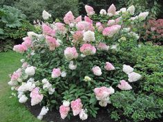 Hortensia Vanille Fraise: ses incroyables fleurs roses et blanches ressemblent à des cornets de glace Hydrangea Shrub, Hydrangea Macrophylla, Hydrangeas, Vanilla Strawberry Hydrangea, Funny Animal Photos, Funny Animals, Green Garden, Trees And Shrubs, Garden Planning