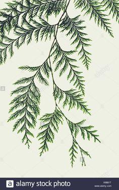 Image result for manitoba cedar tree birds hill