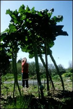 Giant Walking Stick Kale