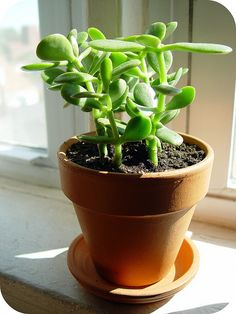 Jade plant. Water 1/every two weeks. Medium light. Low maintenance.