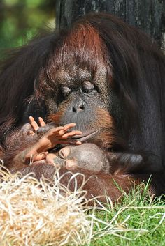 Bornean Orangutan & Young. So much love and tenderness...