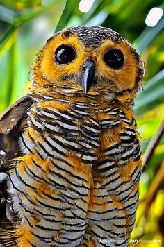 ⊙_⊙corujas - Spotted Wood Owl by Aditya Rangga Beautiful Owl, Animals Beautiful, Cute Animals, Beautiful Pictures, Nice Photos, Beautiful Things, Exotic Birds, Colorful Birds, Exotic Animals