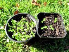 Growing Kiwiberries From Seed - 2 Methods
