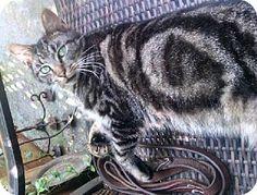 Rocky Hill, CT - Domestic Mediumhair. Meet Jaden, a cat for adoption. http://www.adoptapet.com/pet/11637377-rocky-hill-connecticut-cat