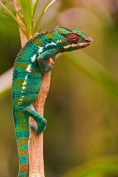 Chameleon on the branch (by Tambako the Jaguar) Very colorful!