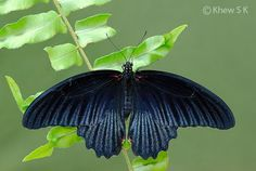 Life History of the Great Mormon ( Papilio memnon agenor ) Butterfly Biodata: Genus: Papilio Linnaeus, 1758 Species: memnon Linnaeu. Moth Species, Butterfly Species, Beautiful Butterflies, Adulting, Singapore, Plant Leaves, Insects, Beetles, History