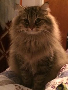 Pure breed Siberian cat - Cats and Dogs House Cute Cats And Kittens, Cool Cats, Kittens Cutest, Siberian Forest Cat, Siberian Cat, Pretty Cats, Beautiful Cats, Cute Cat Gif, Cat Behavior