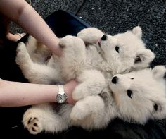 These are Siberian Samoyed dogs. More