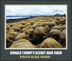 Donald Trump's Secret Hair Farm Meme. Kvaløya Island, Norway. From Norskarv.com. norwegian funny humor humorous
