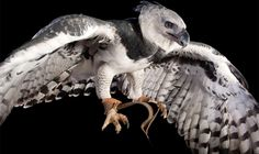 Picture of a harpy eagle Armadillo, National Geographic, Wild Animal World, Los Angeles Zoo, Harpy Eagle, Three Toed Sloth, Animal Science, Birds Of Prey, Nature Pictures