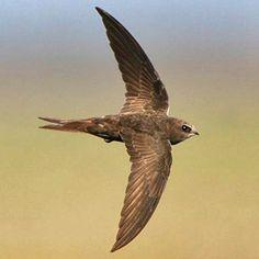 Common Swift - Gierzwaluw No. garden Bird but a bird flies over the garden