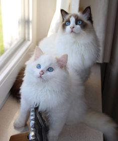 schöne ragdoll-katze The post Beautiful Ragdoll Cat Schöne Ragdoll Katze appeared first on Lynne Seawell& World. Cute Cats And Kittens, I Love Cats, Crazy Cats, Cool Cats, Kittens Cutest, Gatos Ragdoll, Ragdoll Cat Breed, Birman Cat, Pretty Cats