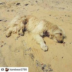 @Regrann from @aslmrc -  #Repost @karebear2795 with @repostapp  @Regrann from @bfgkuwait -  I underatand you don't want the dog anymore but why do you have to drive so far away to the desert and throw him there with no chance of finding food or water.  All his body is covered in blood with deep bites both back legs chest and neck. He has been attacked by stray dogs with little chance of being rescued. He was found by a kind man walking his dogs and he asks for you to open your heart to…