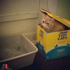 Wrong Box!!! #exoticshorthair #cat #cute #flatface #kitten #meow #pet #mreggs #catlover #exoticsofinstagram #smushface #weeklyfluff #tidycats #purina #poopingcat