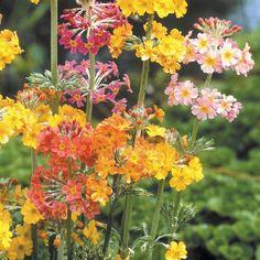 Buy Primula Candelabra | J Parker Dutch Bulbs (Primroses)