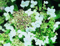 Bilde 1 av KLATREHORTENSIA Hydrangeas, Herbs, Garden, Plants, House, Pictures, Garten, Home, Lawn And Garden