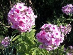 Флоксы. Ранневесенняя посадка и летний уход. Флоксы нынче вошли в моду. Многие любили их всегда, но по-настоящему оценили их дизайнеры только сейчас. Всем хороши эти цветы. И ароматом, и разнообразием… Bougainvillea, Geraniums, Garden Design, Vegetables, Rose, Flowers, Plants, Sodas, Pink