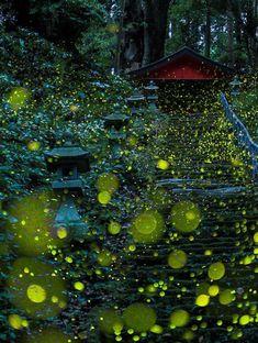 Découvrez des photographies absolument fascinantes de lucioles dans les forêts japonaises... Magique !