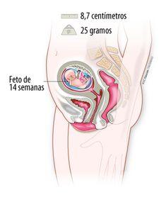 Antes de las 14 semanas de gestación se puede aplicar terapia génica intrauterina.